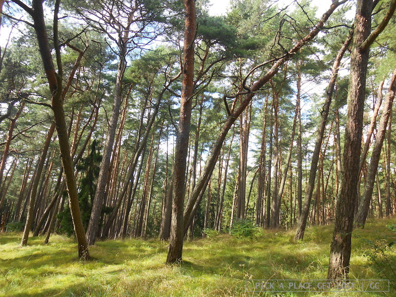 neringa_3_pine_forest