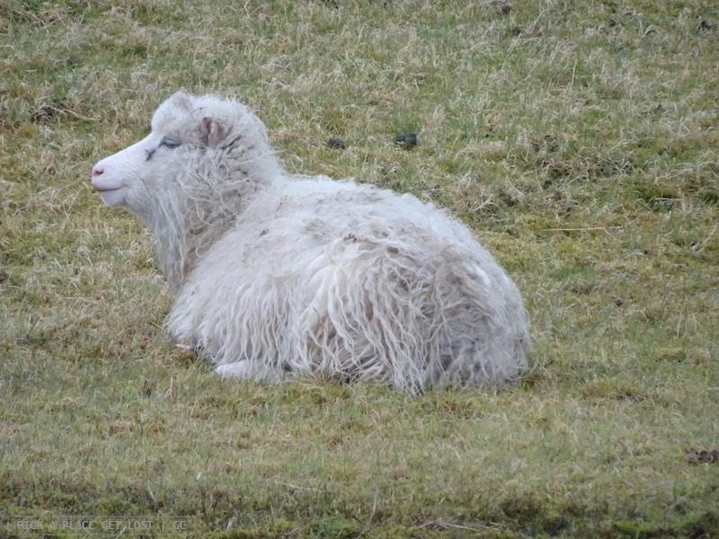 Faroe Islands. Sheep